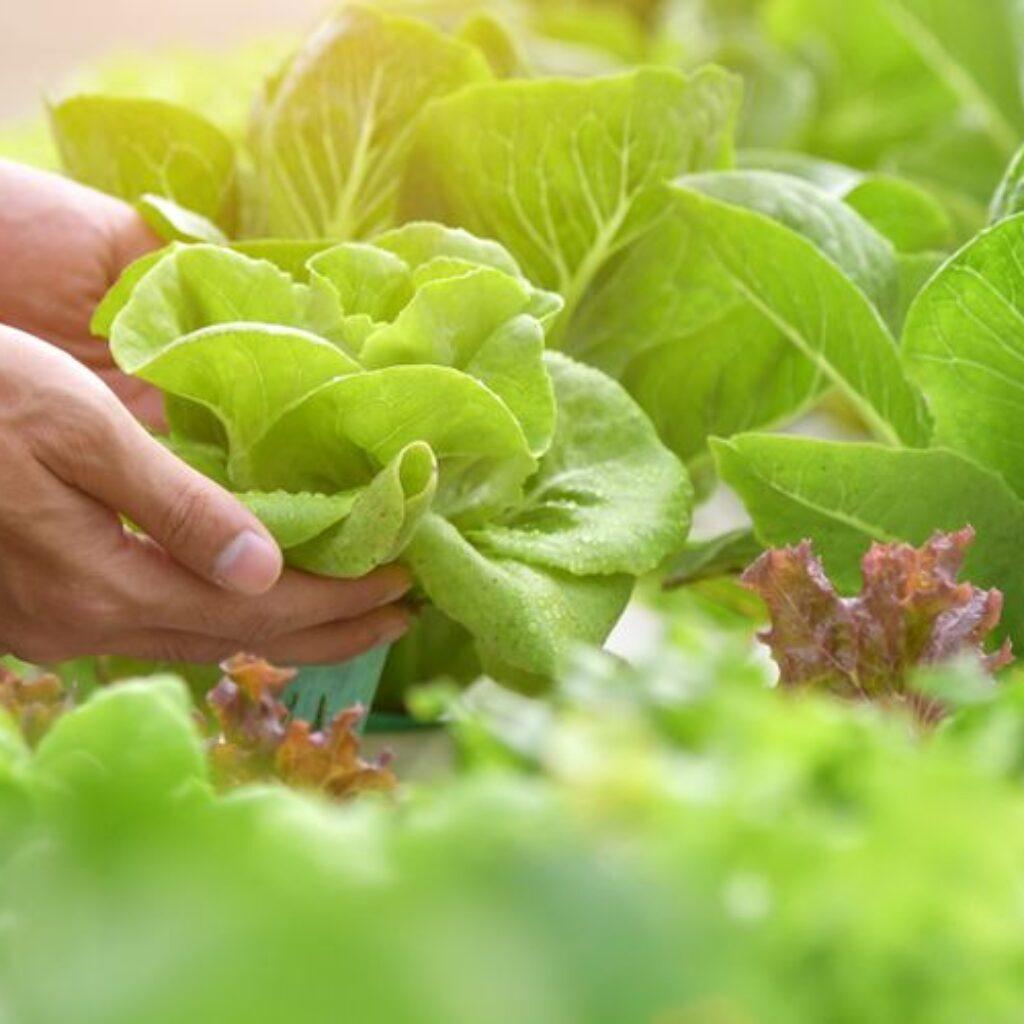 5 Jenis Sayuran yang Dapat Ditanam di Halaman Rumah dengan Mudah
